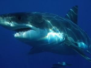 http://pixabay.com/en/great-white-shark-shark-jaws-fish-398276/