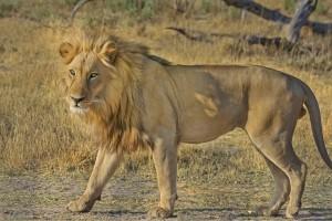 Credit:designer point  http://pixabay.com/en/lion-wildcat-safari-africa-515030/